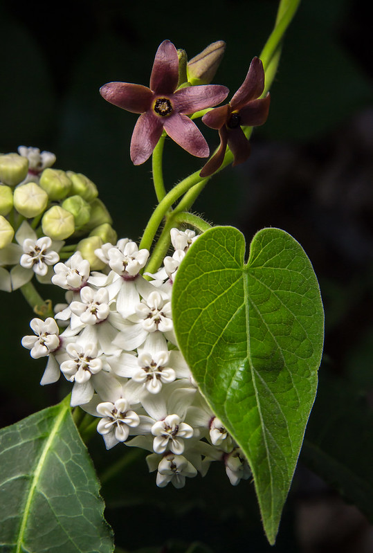 Milkvine on Milkweed