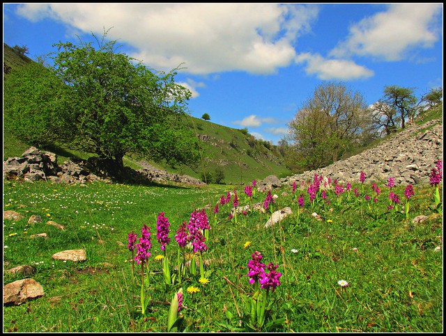 Early purple Orchids in Horseshoe dale.