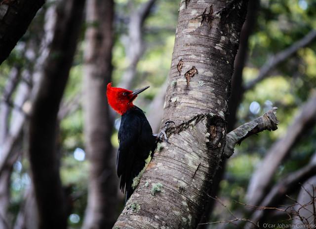 Carpintero Negro - Magellanic Woodpecker