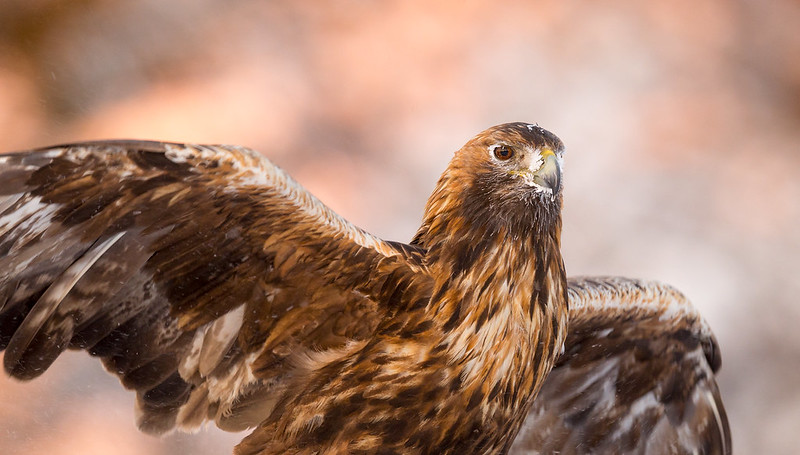 Golden Eagle 0027 by Jari Peltomäki