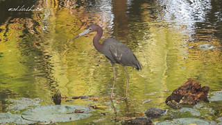 Blue Little Heron (Egretta Caerulea) in Ocho Rios