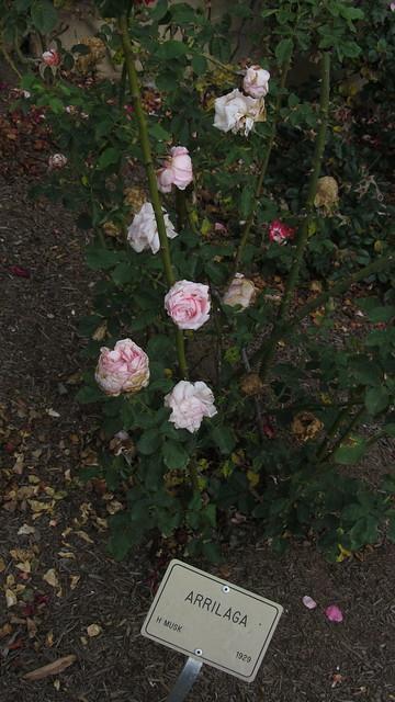 IMG_8875 Santa Barbara Postel garden Arrilaga rose