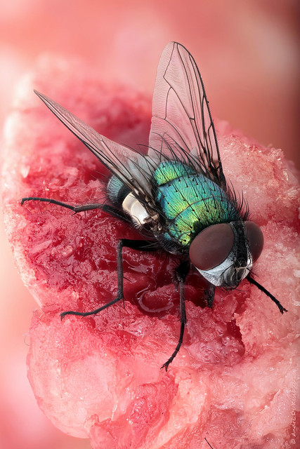 'Meat' the fly