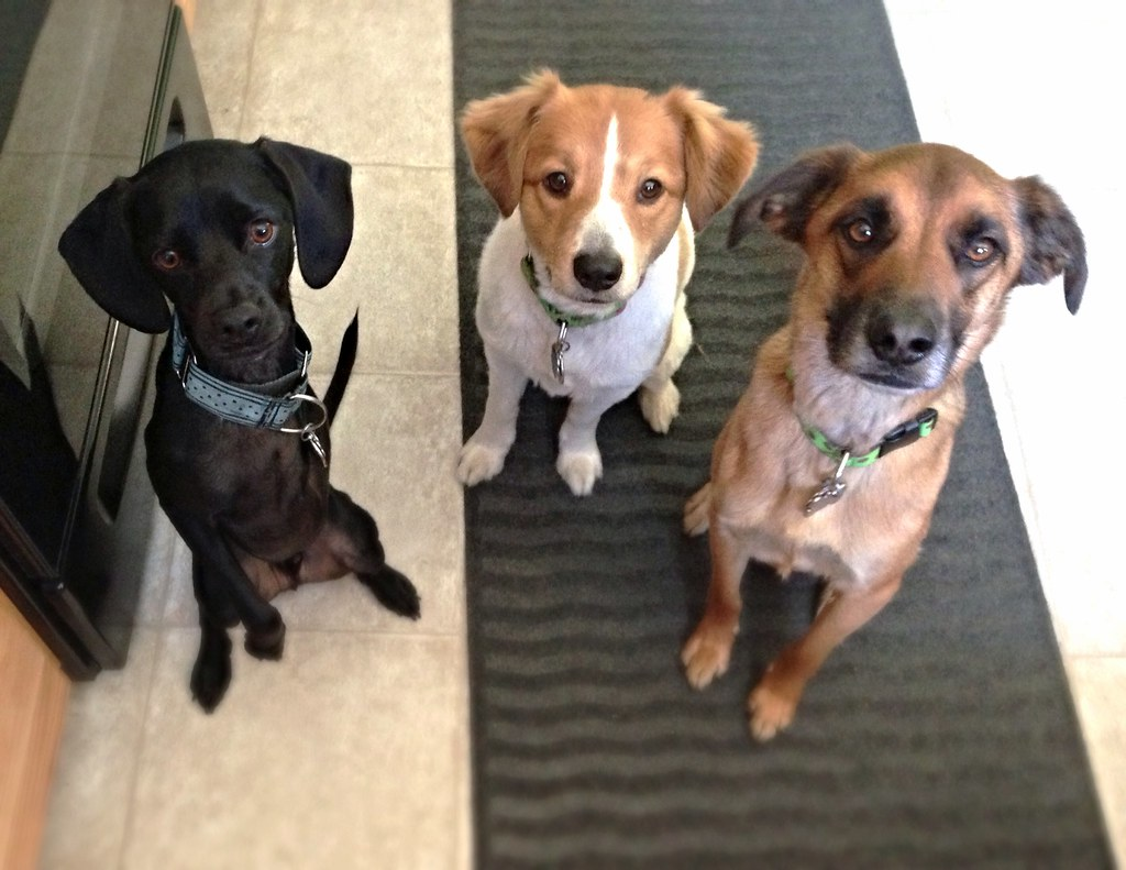 3 dogs waiting for a cookie!