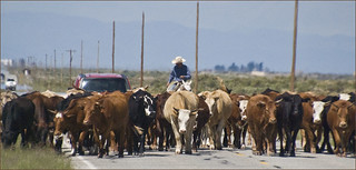 'There Are Cattle Blocking Your Morning Commute Today' -- Near Great Sand Dunes National Park (CO) August 2013 | by Ron Cogswell