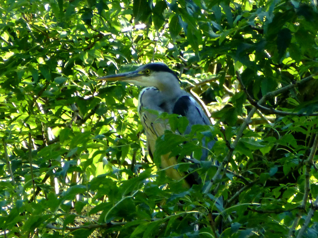 Grey Heron Watching Over The Pool Of The Giant Otters At
