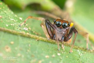 Jumping spider (Salticidae) - DSC_1742
