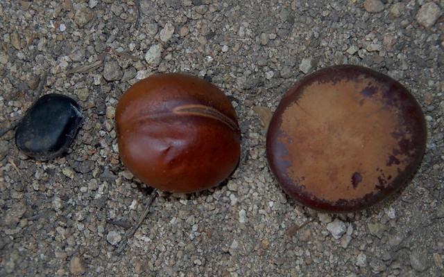 Mucuna gigantea [left], Castanospermum australe [mid] and Entada rheedii, Black Scrub, near Townsville, QLD, 25/08/15