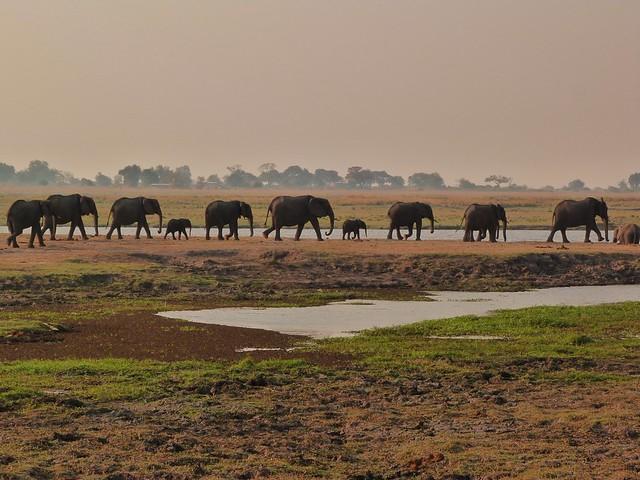 Elefantes en el Parque Nacional Chobe (Botswana)