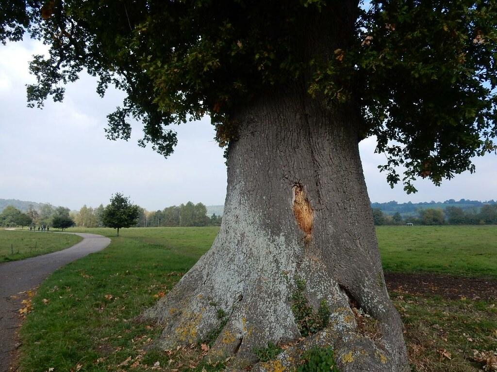 Big tree, Hambleden Marlow Circular
