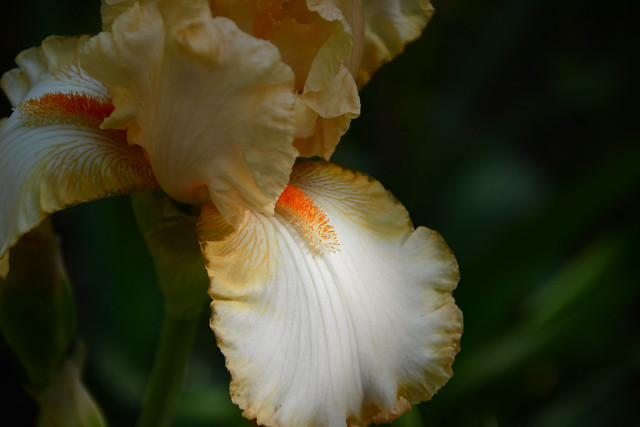 Iris 'Marie Flore' - Cayeux 1990 31997887422_6cee1dba30_z