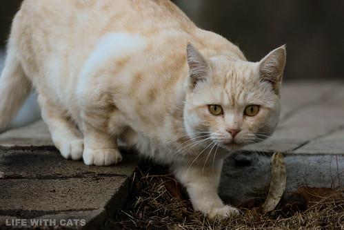 4T4A4783 Cream tabby Japanese cat 薄茶トラ猫