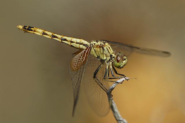 Libellulidae