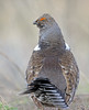 Dusky Grouse, Black Canyon of the Gunnison, Montrose, Colorado by Terathopius