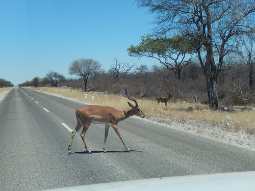 Etosha NP - black faced impala steekt over