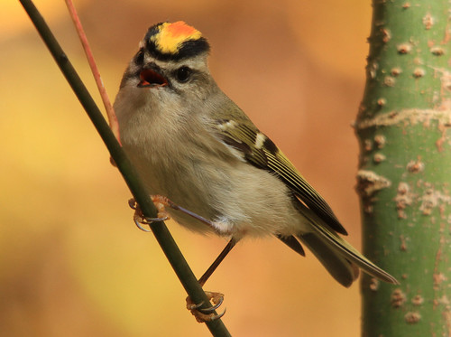"""Golden Crowned Kinglet """"male""""   by tessanickels"""