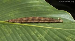 late-instar owl caterpillar