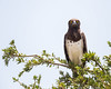 Black-breasted Snake-Eagle by rhysmarsh