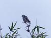 Aguililla Enana, Pearl Kite (Gampsonyx swainsonii) by Francisco Piedrahita