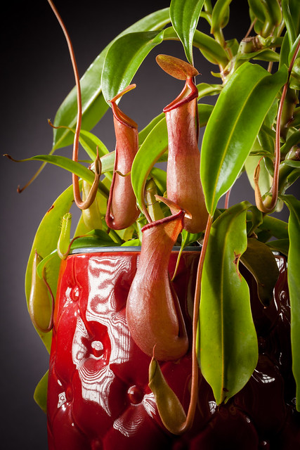 Nepenthes 7382