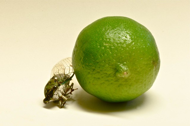 The Lime and the Locust