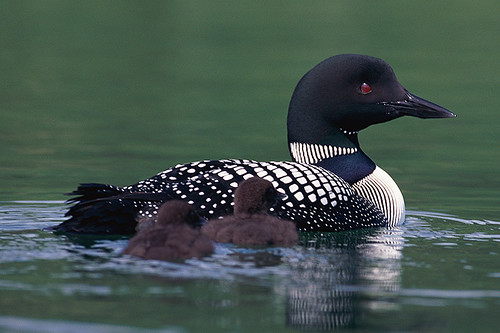 Wildlife in British Columbia, Canada: Common Loon / Great Northern Loon
