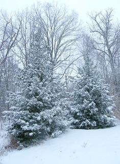 Two Christmas Trees