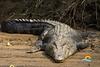Crocodile-Tours-Jaco-Costa-Rica (Copy)