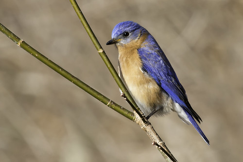 Eastern Bluebird | by Kelly Colgan Azar