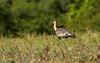 Bandurria Aliblanca / Buff-necked ibis by Andrés Ceballos V.