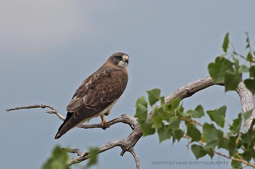 bird birds colorado hawk july east raptor grassland swainsonshawk buteoswainsoni