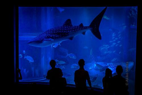 Osaka, Japan - Whale Shark at Osaka Aquarium Kaiyukan   Flickr