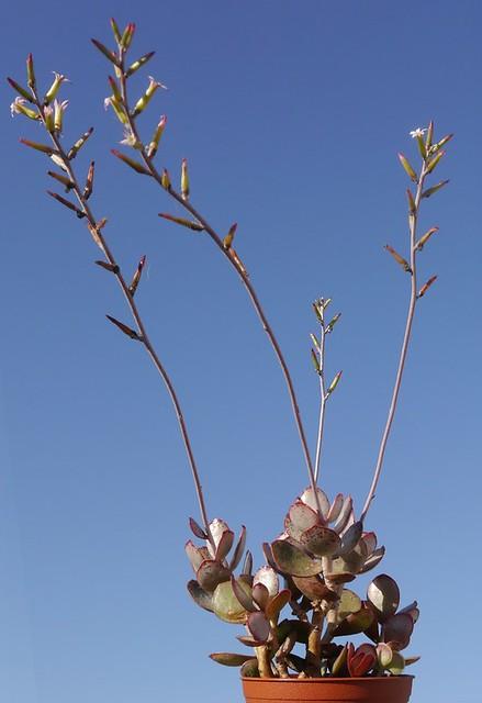 Adromischus maculatus, Mossel Bay- (1)
