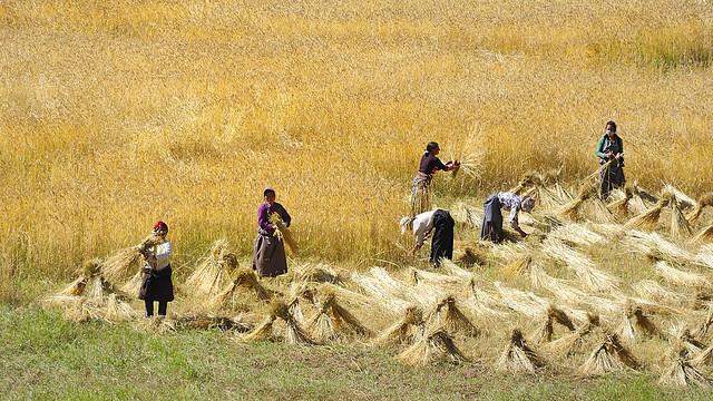 Barley harvest, Tibet 2013