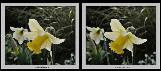 Daffodil - 3d crossview