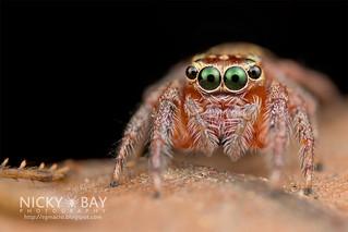 Jumping Spider (cf. Pancorius sp.) - DSC_5493