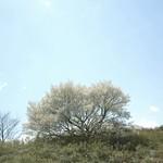うぐいすライン さくら 桜 Nikon P7700
