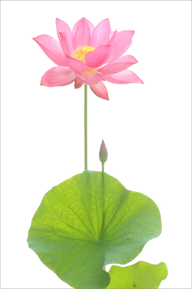 Pink Lotus Flower Annd Leaves Pink Lotus Flower Annd Leave Flickr