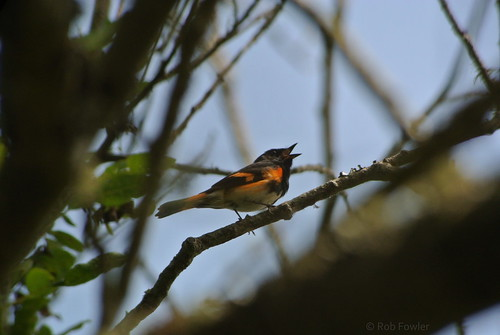 American Redstart | by Rob Fowler