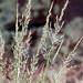 Mountain Muhly grass