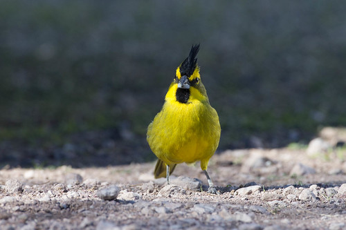 Yellow Cardinal | by zeledonia