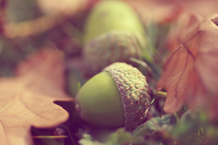 Acorns | by The Garden Smallholder