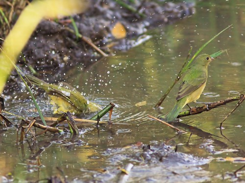 Painted Bunting bathing 2-20131222