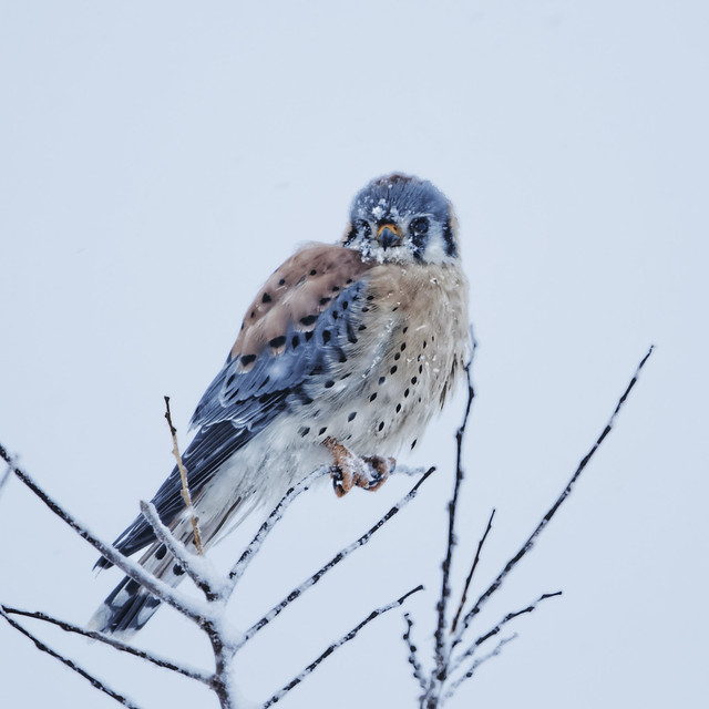 Kestrel Endures Snow Storm
