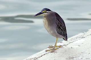 Little Heron | by Beegee49 (Thanks for 12m views,account locked