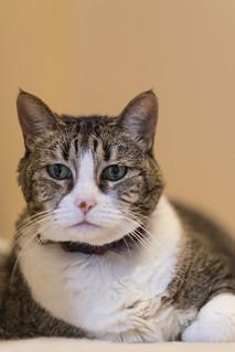 My fat cat taken with Fuji 56mm f/1.2 | by darktiger