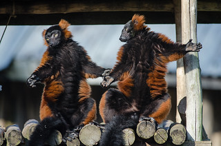 Red Ruffed Lemur | by Mathias Appel