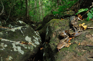 Reticulated Python, Python reticulatus in situ wide-angle shot in Khao Yai national park | by tontantravel