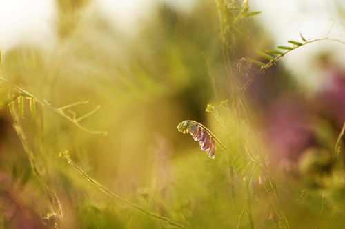 lighting flowers light sunset summer sun plant nature germany deutschland spring warm glow dof hessen sundown bokeh outdoor availablelight natur pflanze pflanzen feld blumen gras wildflowers landschaft kissed darmstadt goldenhour sunkissed eveninglight abendsonne blüten goldenlight hairyvetch warmcolors abendlicht viciavillosa wildblumen wintervetch festbrennweite darmstadtkranichstein goldenestunde zottigewicke vivitar13528 foddervetch nikond300s ackerrand ackerrandblumen blumenamackerrand vondersonnegeküsst