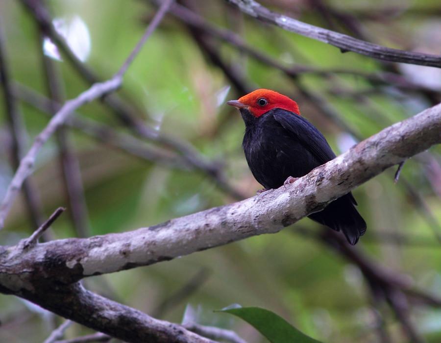 Red-headed Manakin, male